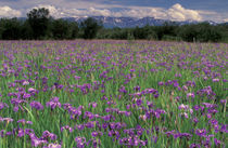 Iris flowers (Iris setosa) by Danita Delimont