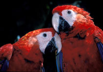 Scarlet Macaw babies by Danita Delimont