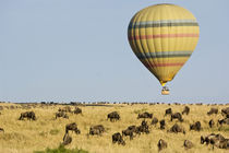 Tourists ride hot air balloon above grazing wildebeests by Danita Delimont