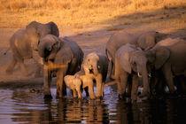 Elephants (Loxodonta africana) by Danita Delimont