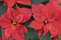 Red Poinsettia Detail (Euphorbia pulcherrima) by Danita Delimont