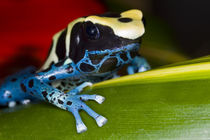 Close-up of poison dart frog on leaf by Danita Delimont