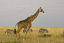 Maasai Giraffes roaming across the Maasai Mara Kenya by Danita Delimont