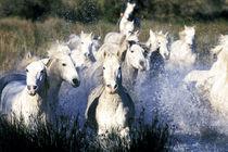 Camargue Horses (Eguus caballus) by Danita Delimont
