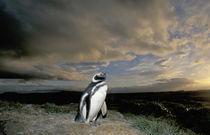 Magellanic Penguin (Spheniscus magellanicus) by Danita Delimont