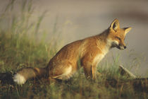 Red fox cub at sunrise von Danita Delimont