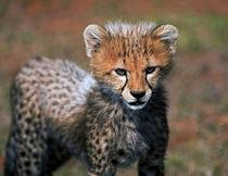 Cheetah (Acinonyx Jubatus) as seen in the Masai Mara by Danita Delimont