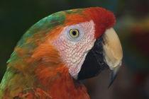 Macaw portrait von Danita Delimont