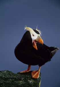 Close-up of lone puffin standing on rock ledge by Danita Delimont