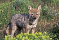 Argentine grey fox (Disicyon griseus) von Danita Delimont