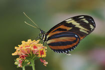 Heliconius ismenius by Danita Delimont
