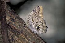 Costa RicaOwl butterfly (Caligo eurilochus) von Danita Delimont