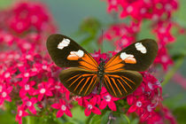 Heliconius melpomene the Postman Butterfly by Danita Delimont