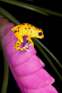 Close-up of poison dart frog on pink leaf by Danita Delimont