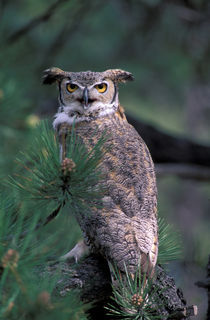 Great Horned Owl in pine tree by Danita Delimont
