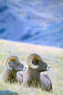 Big Horn Sheep (Ovis Canadensis) by Danita Delimont