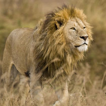 Male Lion at Ngorongoro Crater by Danita Delimont