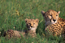 Cheetah and cubs (Acinonyx jubatus) von Danita Delimont