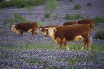 Hereford Cattle in large meadow of Bluebonnets by Danita Delimont