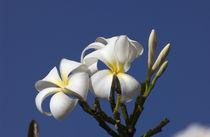 White plumeria von Danita Delimont