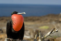Male Great Frigatebird with inflated gular pouch in courtship display (WILD: Fregata minor ridgwayi) von Danita Delimont
