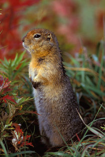 Arctic ground squirrel von Danita Delimont