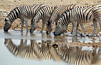 Burchell's Zebra (Equus burchelli bohmi) drinking von Danita Delimont