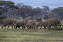 African Elephants von Danita Delimont