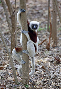 Ankarafantsika Reserve; Ampijoroa; Coquerel's Sifaka (Propithecus coquereli) by Danita Delimont