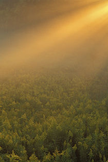 Meadow of goldenrod plants bathed in foggy summer sunlight von Danita Delimont