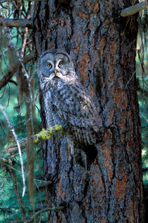 Great Grey Owl by Danita Delimont