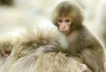 Snow Monkey Baby on Mother's Back (Macaca fuscata) by Danita Delimont
