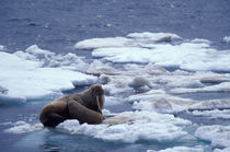 Walrus and young on ice in Chukchi Sea von Danita Delimont