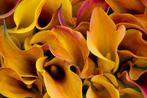 Bright colorful calla lilies at the Bloemenmarket by Danita Delimont