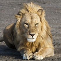 Male Lion at Ndutu in the Ngorongoro Conservation Area by Danita Delimont