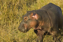 Baby Hippo out of water away from adults along the river brush in the Maasai Mara Kenya by Danita Delimont