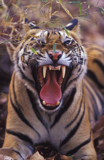A 20-month-old male tiger cub yawning (Bathan) von Danita Delimont
