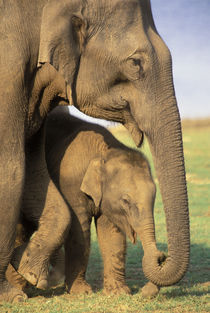 Indian Elephants (Elaphus bengalensis) von Danita Delimont
