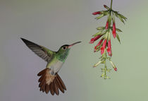 Rufous-tailed hummingbird flies to red flowers to feed by Danita Delimont