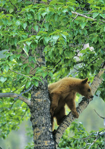 Cinnamon colored black bear in aspen tree in Waterton Lakes National Park in Alberta Canada von Danita Delimont