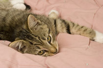 Silver tabby stretched out on bedspread by Danita Delimont