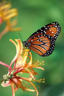 Queen Monarch resting on Spiderflower by Danita Delimont