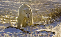 Backlit polar bear von Danita Delimont