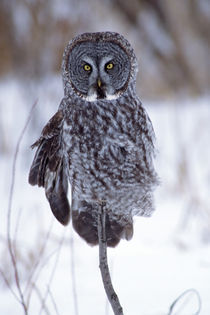 Great Gray Owl near Pine City MN von Danita Delimont