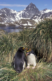 Macaroni penguin couple on tussock grass von Danita Delimont