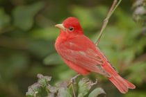 Close-up of male summer tanager perched on tree limb von Danita Delimont