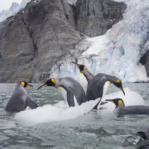 King Penguins (Aptenodytes patagonicus) swimming by iceberg calved from tidewater glacier along Golden Harbour on late summer morning by Danita Delimont