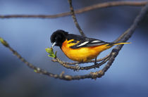 Formerly Baltimore Oriole (Icterus galbula) by Danita Delimont