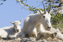 Mountain goat nanny with kid in Glacier National Park in Montana von Danita Delimont