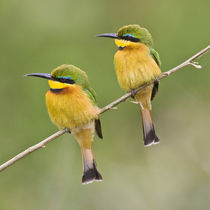 Little Bee Eaters at Manyara NP von Danita Delimont